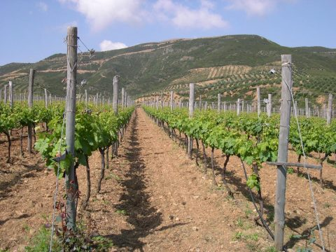 Grapevine Harvest_private tour crete_elissos