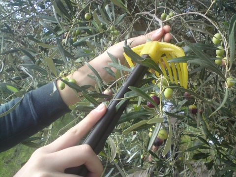 olive picking experiential-elissos