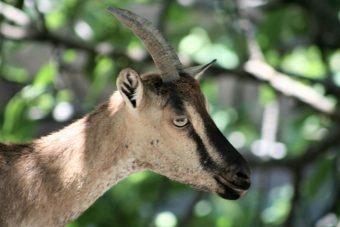 Kri-kri Goat